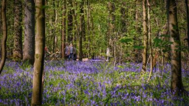 Photo of Bluebell forest blooms in Belgium without visitors to admire it