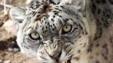 Photo of Snow leopards spotted near human habitats in Central Asia
