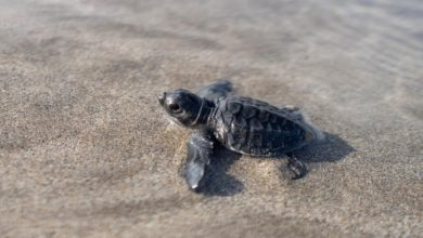 Photo of Conservationists in Bali release baby turtles into the ocean