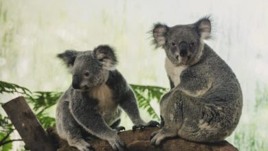 Photo of Koalas face extinction in New South Wales before 2050: Report