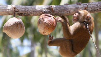Photo of Monkey abuse claims on Thai coconut farms triggers international boycott