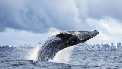 Photo of Calm of pandemic draws whales to Brazilian coast