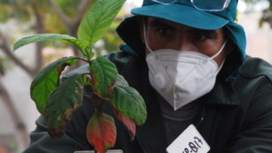 Photo of Peru seeks to save cinchona, an endangered tree that saved millions of lives
