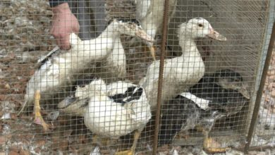 Photo of French foie gras farm investigated after video shows shocking conditions