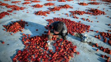 Photo of Sun-dried tomatoes from Turkey exported to at least 60 countries