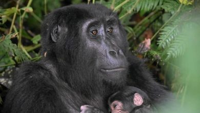 Photo of Gorilla baby boom gives hope to conservationists