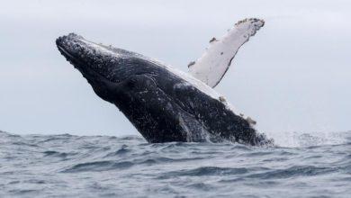 Photo of Humpback whale rescued on island off the coast of Ecuador