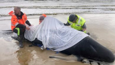 Photo of 200 more whales found in Tasmania's worst mass stranding