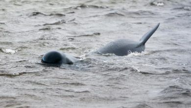 Photo of 94 pilot whales refloated in Tasmania, some re-strand