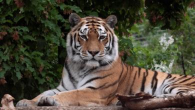 Photo of Buscan tigre que se escapó en Knoxville, Tennessee