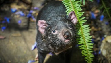 Photo of Environmentalists to reintroduce Tasmanian devils to mainland Australia